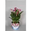 Zantedeschia Rubylite Rose 17cm potcover