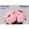 Hydrangea Verena