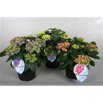 Hydrangea Diverse soorten 7+ terras