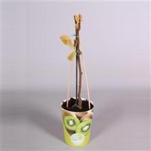 MoreLIPS® Actinidia deliciosa Jenny Boskoop (zelfbestuiver) in potcover