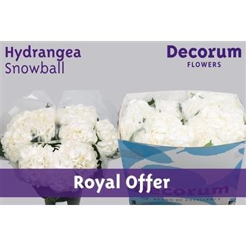 Hydrangea Schneeball (Royal Offer)