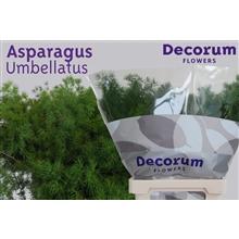Asparagus umbellatus 40cm DCs