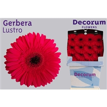 Gerbera Diamond Lustro