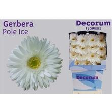 Gerbera Diamond Pole Ice