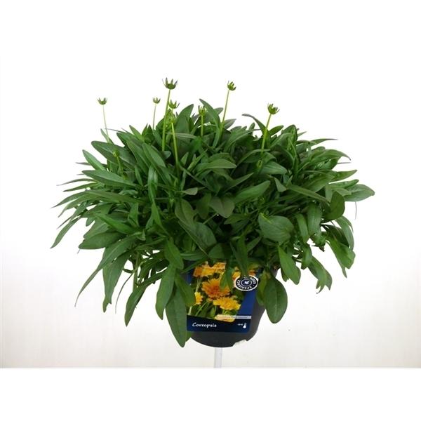 Coreopsis Illico Coreopsis Grand Illico