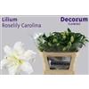 Lilium Roselily Carolina
