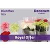 Dianthus St. mix (Royal Offer)