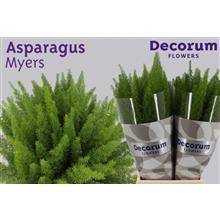 Asparagus myers 50cm DCs