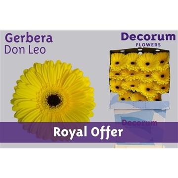 Gerbera Diamond Don Leo (Royal Offer)