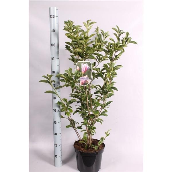 magnolia 39 gh kern 39 geknopt magnolia gh k floraxchange. Black Bedroom Furniture Sets. Home Design Ideas