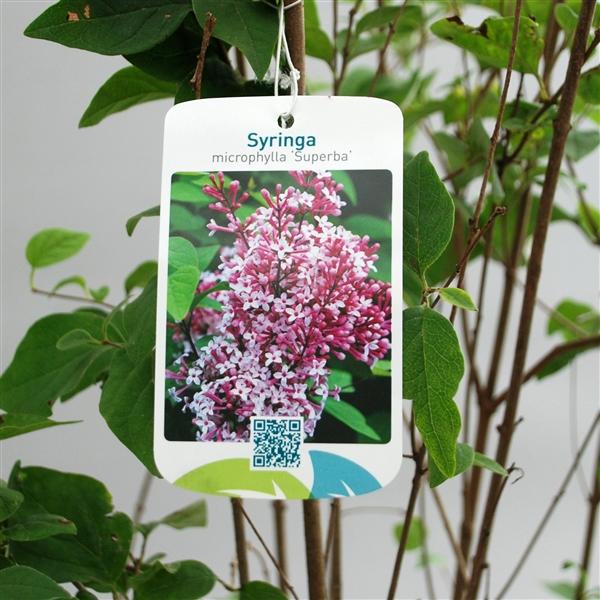 syringa microphylla 39 superba 39 100cm c7 5 symsuper100 p. Black Bedroom Furniture Sets. Home Design Ideas