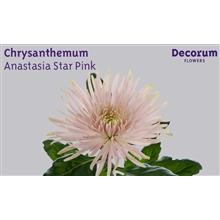 Chrysanthemum Anastasia Star Pink