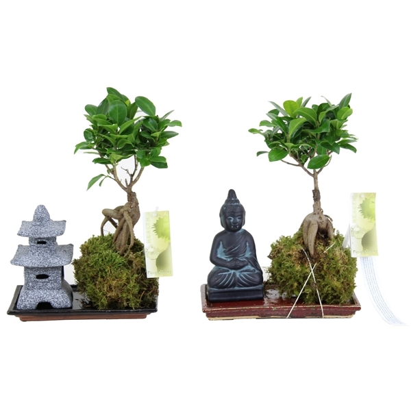 ficus ginseng kokedama on saucer a5091936 floraxchange. Black Bedroom Furniture Sets. Home Design Ideas