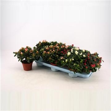 Azalea 10.5 cm Mix  Decorum RO