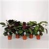 Calathea Rosea Mix 19 cm Decorum