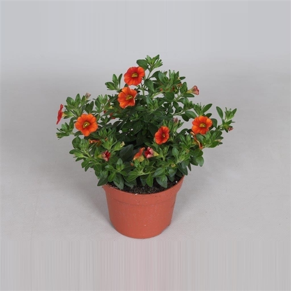 Cali Trio rood-terracotta-oranje