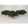 Azalea in Twin planter